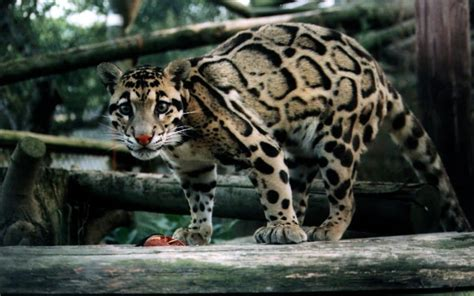 Pet leopard escaped and hunted sheep as it ran free for a