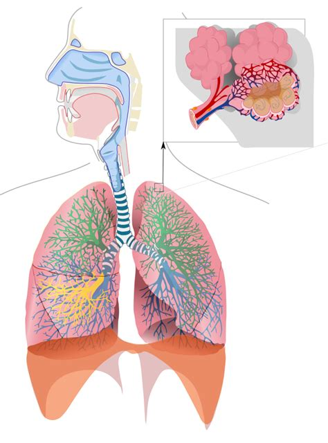 File:Respiratory system complete no labels